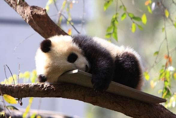 panda dans le zoo de san diego