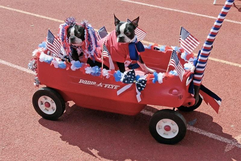 boston terrier dans un chariot usa