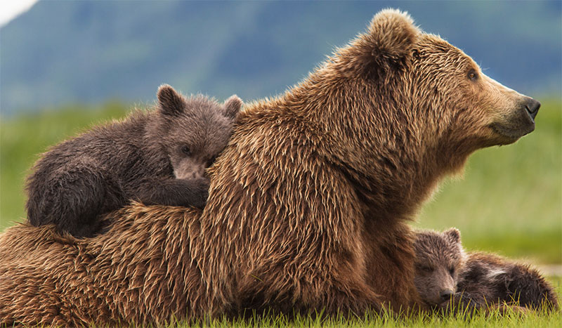 famille de grizzly amber sky et scout film grizzly disney