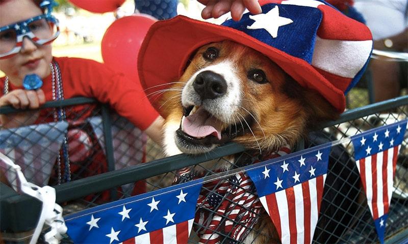 border collie patriotique