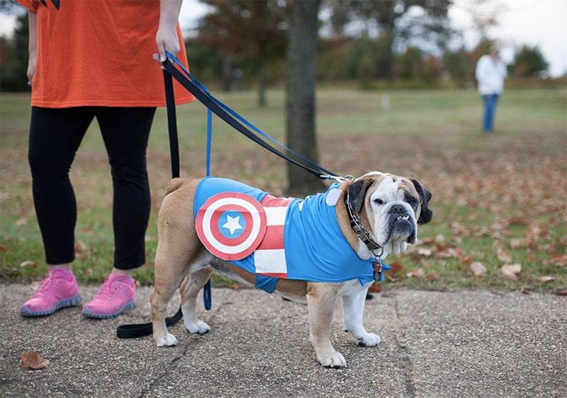 bulldog captain america