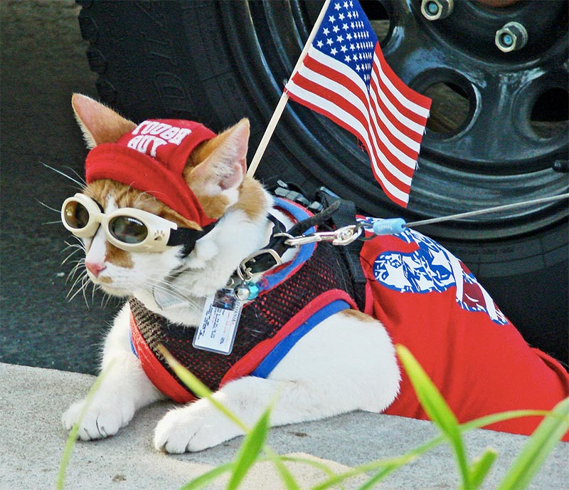 chat americain patriotique