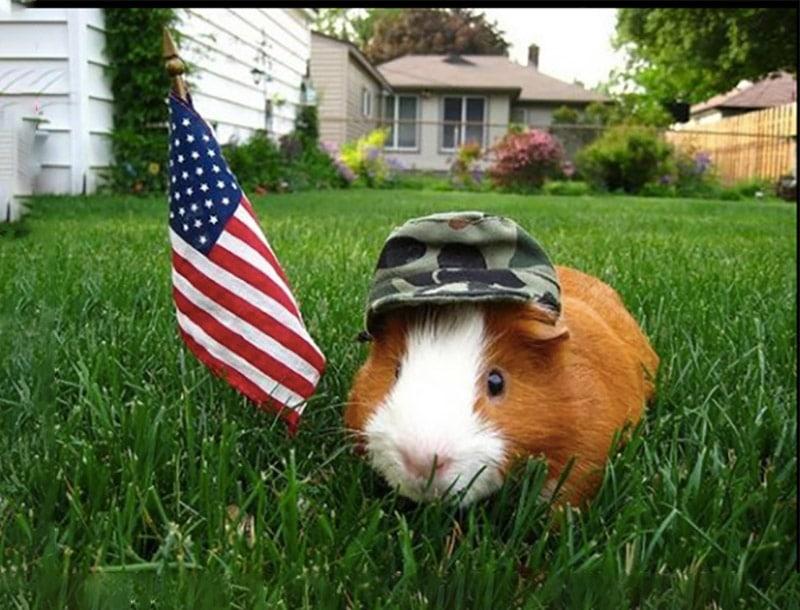 cochon d'inde americain